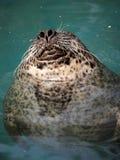 Snoozing seal stock image