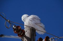 Snoozing Snowy Owl Perspective. Bright seasonal capture of a snoozing snowy owl sitting  atop a utility pole, set against a deep blue sky background Royalty Free Stock Photo