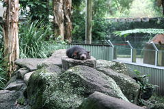 Snoozing Tasmanian Devil. A Tasmanian Devil snoozing upon a rock in a Wildlife Sanctuary in Australia stock image