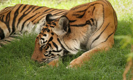 Snoozing Tiger. Tiger Sleeping In Shady Grassy Area royalty free stock images