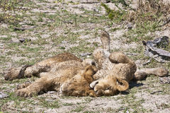 Snoozing wet lion cubs. After a swim through the waters of the delta, these lion cubs lazily rolled in the dirt, sunning themselves and falling asleep stock photography