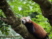 Snoozy red panda Royalty Free Stock Photography