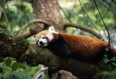Snoozy red panda Royalty Free Stock Photos