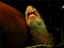 Snoring Shark Royalty Free Stock Image