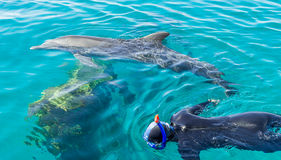 Snorkeilng with dolphins. Person snorkeling with dolphins at tropical resort Stock Photography