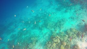 Snorkelend met een ondiepte van de vissen van SergeantMajor, de Maldiven, Indische Oceaan stock video