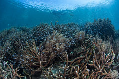 Snorkeler au-dessus de Coral Reef Photographie stock