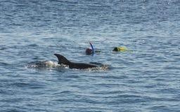 Snorkelers avec le dauphin en mer tropicale Image libre de droits