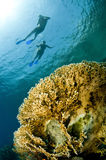 Snorkelers swim on surface and bright yellow coral Royalty Free Stock Image