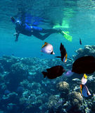 Snorkeling. Underwater life. Man snorkeling with fishes Royalty Free Stock Image