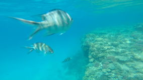 Snorkeling in the beautiful sea. near the corals and fish. cyan warm water. active lifestyle. rest and vacation. summer and tropic stock video