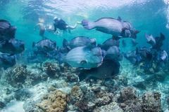 Snorkeling with bumphead parrot fish. Under water Royalty Free Stock Photography