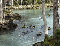 Snorkeling in Clear Florida River Spring. Swimmers wear snorkels and goggles in endangered manatee habitat of Three Sisters Springs Wildlife Refuge, Crystal Royalty Free Stock Photos