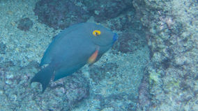 Snorkeling com peixes tropicais Imagens de Stock