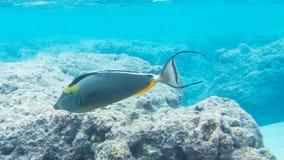 Snorkeling com peixes tropicais Foto de Stock Royalty Free