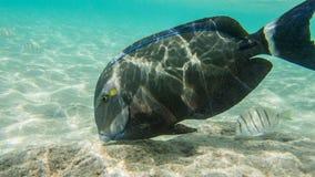 Snorkeling com peixes tropicais Fotos de Stock Royalty Free