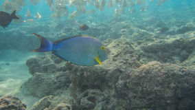 Snorkeling com peixes tropicais Foto de Stock