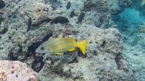 Snorkeling com peixes tropicais Fotografia de Stock