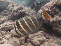 Snorkeling com peixes tropicais Fotografia de Stock Royalty Free
