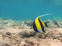 Snorkeling com peixes tropicais Imagem de Stock