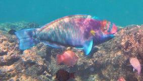 Snorkeling com peixes tropicais Fotos de Stock