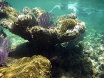 Snorkeling in Coral Reef Royalty Free Stock Photo