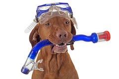Snorkeling dog Stock Images