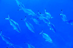 Snorkeling in Egypt. Lunar fusilier fishes in Red Sea Stock Photo