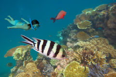 Snorkeling in the Great Barrier Reef  Queensland Australia Stock Photography
