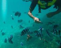 Snorkeling Japanese feeding fish in the sea royalty free stock photo