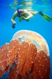 Snorkeling with jellyfish. Underwater photographer snorkeling with jellyfish