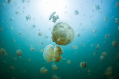 Snorkeling in Jellyfish lake. Palau Stock Image