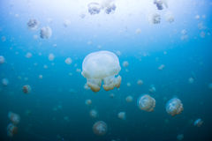Snorkeling in Jellyfish lake. Palau Stock Photos