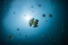 Snorkeling in Jellyfish lake. Palau Royalty Free Stock Photos