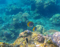 Snorkeling photo of sea bottom with corals and yellow butterfly fishes Stock Image
