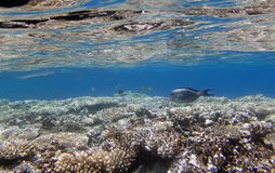Snorkeling in the red sea. Snorkeling around Hurghada, egypt.2013 Royalty Free Stock Photography