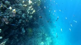 Snorkeling in Red Sea, beautiful fishes near the coral reef, slow motion. A school of fishes near the coral reef in clear blue water. Deep underwater view stock video footage