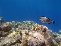 Snorkeling in the red sea. Hurghada 2013 Stock Photography