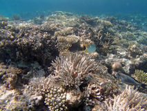 Snorkeling in the red sea. Hurghada 2013 Royalty Free Stock Photography