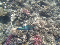 Snorkeling in the red sea Royalty Free Stock Photo