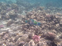 Snorkeling in the red sea Royalty Free Stock Photos