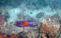 Snorkeling in the red sea Stock Images