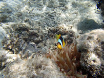 Snorkeling in the red sea Royalty Free Stock Images