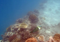 Snorkeling in the red sea. Near Hurghada 2013 Royalty Free Stock Photography