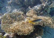 Snorkeling in the red sea. Near hurghada 2013 Stock Photo