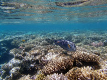 Snorkeling in the red sea. Near hurghada Royalty Free Stock Photo