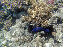 Snorkeling in the red sea Royalty Free Stock Photography