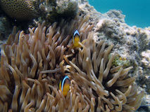 Snorkeling in the red sea Stock Image