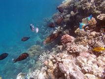 Snorkeling in the red sea. Near hurghada Royalty Free Stock Photography