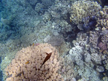 Snorkeling in the red sea. Peaceful egypt - snorkeling in the red sea Royalty Free Stock Images